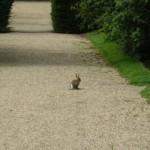 Заяц в Кембридже