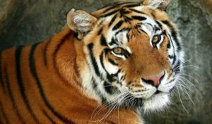 Тигр в природе (красивое фото)