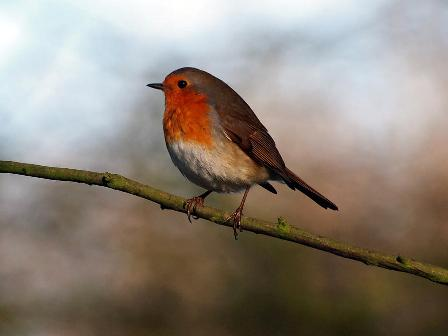 The British Bird Robin